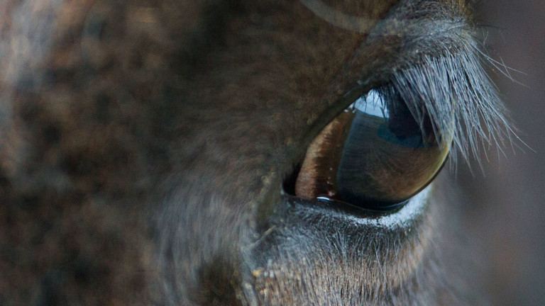 Portrait Bison, Detail