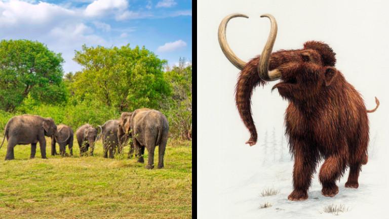 Asiatische Elefante stehen auf einer Wiese. Daneben ist eine Grafik eines Wollhaarmammuts zu sehen.