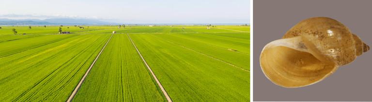 Links im Bild ist ein Reisfeld im spanischen Ebro-Delta zu sehen. Rechts das Schneckenhaus der Austropeplea viridis.