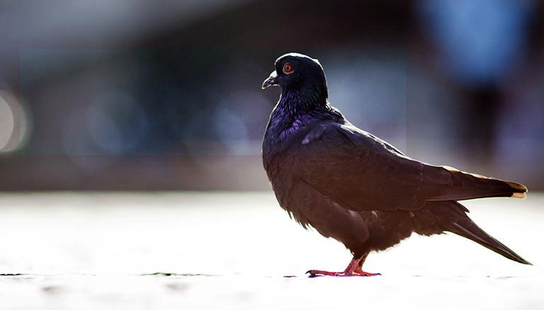 Eine einzelne Taube sitzt am Dienstag (04.10.2011) in der Innennstadt von Frankfurt am Main auf dem von der Sonne beschienenen Pflaster. Der Altweibersommer bescherte der Rhein-Main-Region noch einmal einen sonnigen und warmen Tag. Foto: Frank Rumpenhorst dpa/lhe