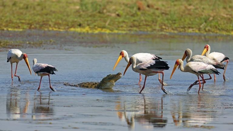 In Südafrika sind ein Nilkrokodil und Nimmersatt-Störche gemeinsam im Wasser.