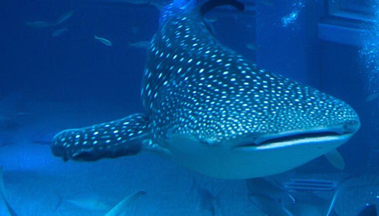 Größtes Becken im Aquarium Osaka: ASIEN, JAPAN, OSAKA, 18.12.2013: Das Kaiyukan in Osaka ist eines der größten Aquarien der Welt. In 16 Bassins mit mehr als 11.000 Tonnen Wasser können seit der Eröffnung 1990 mehr als 30.000 Lebewesen aus 580 verschiedenen Arten von Vögeln, Fischen, Säugetieren und Reptilien aus der ganzen Welt betrachtet werden. Das größte Becken im Kaiyuukan ist das Herzstück des Aquariums. Mehr als fünf Millionen Liter Wasser verteilen sich über eine Höhe von neun Metern hinter mehreren Stockwerken mit bis zu sechs Meter breiten Fenstern aus 30cm dicken Plexiglas. Highlight des Beckens ist ein Walhai, der größte Fisch ...