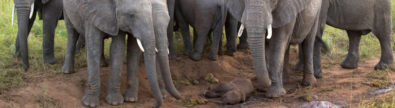 Eine Elefantenherde steht um ein tot geborenes Elefantenkalb herum.