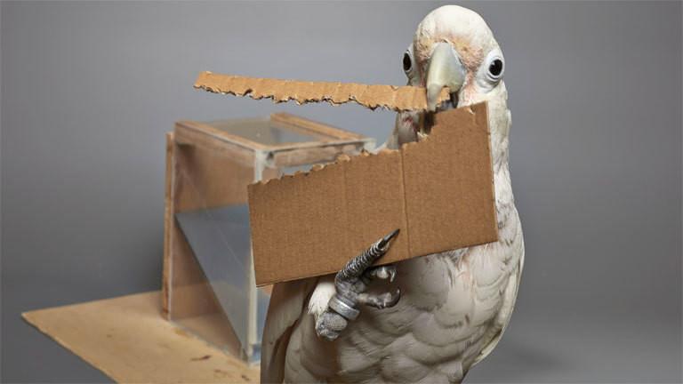 Ein Koffein-Kakadu, der ein Werkzeug aus Pappe herstellt.