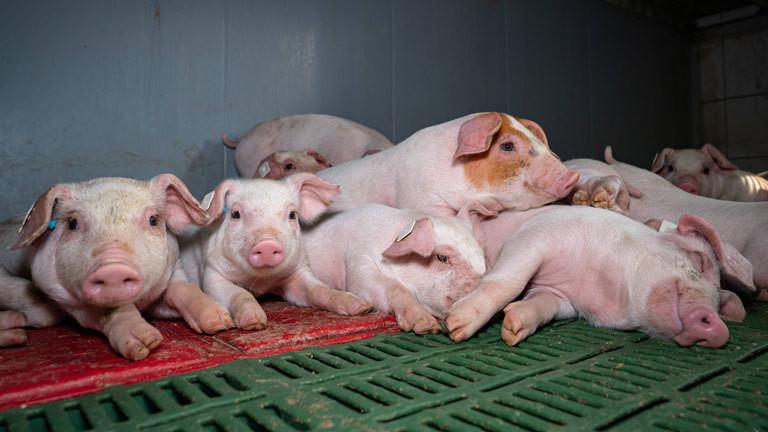 Rotbunte Ferkel liegen entspannt in einem geräumigen Ferkelabteil eines konventionellen Schweinestalles.