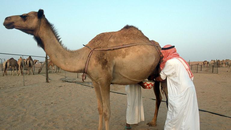 Zwei Männer melken eine Kamel in Dubai.