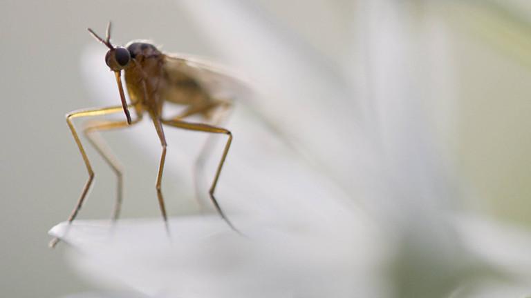 Eine Stechmücke in der Nahaufnahme