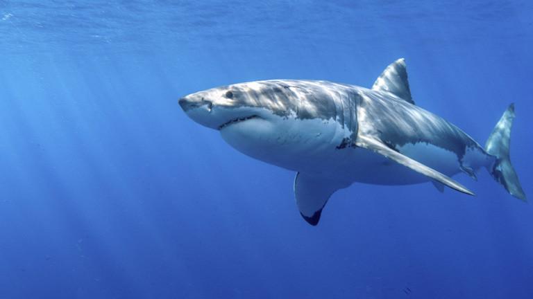 Weißer Hai.