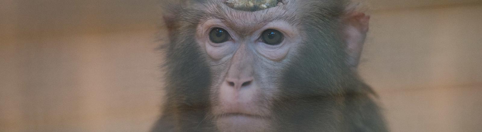 Affe mit einem Implantat auf dem Kopf