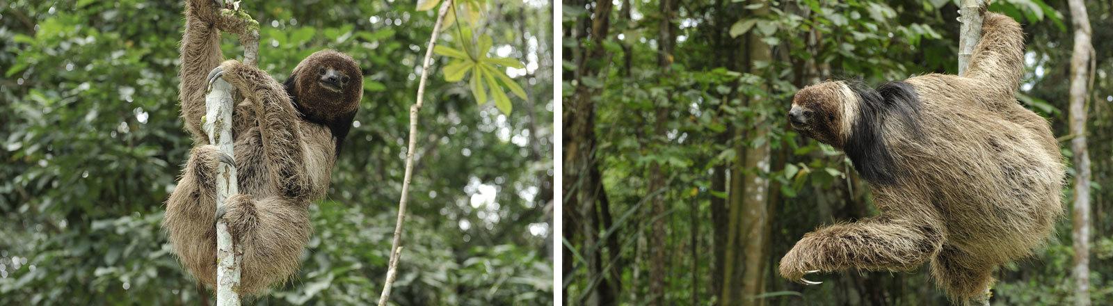Kragenfaultier im brasilianischen Regenwald.