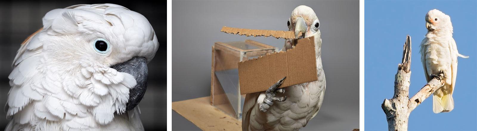 Eine Collage von verschiedenen Goffin-Kakadus.