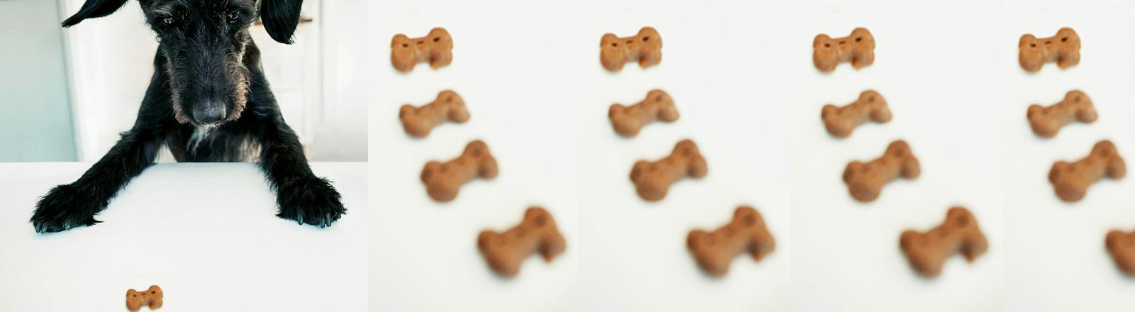 Ein Hund blickt auf Hundekekse.