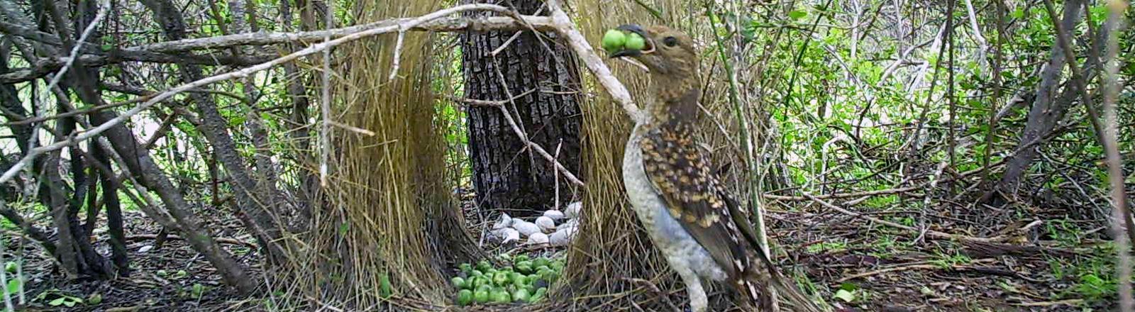 Ein Hüttengärtner vor seinem Nest mit grünen Beeren im Schnabel.