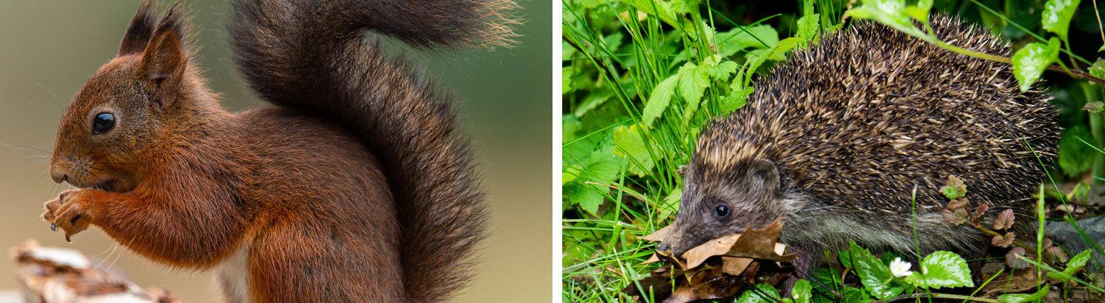 Ein Eichhörnchen und ein Igel.