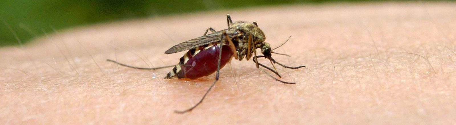 Stechmücke auf einem Arm saugt Blut.