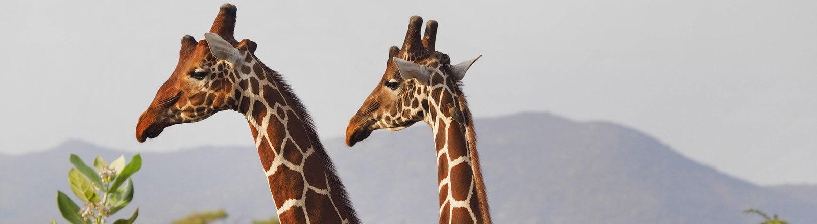 Giraffen in der Wildnis.