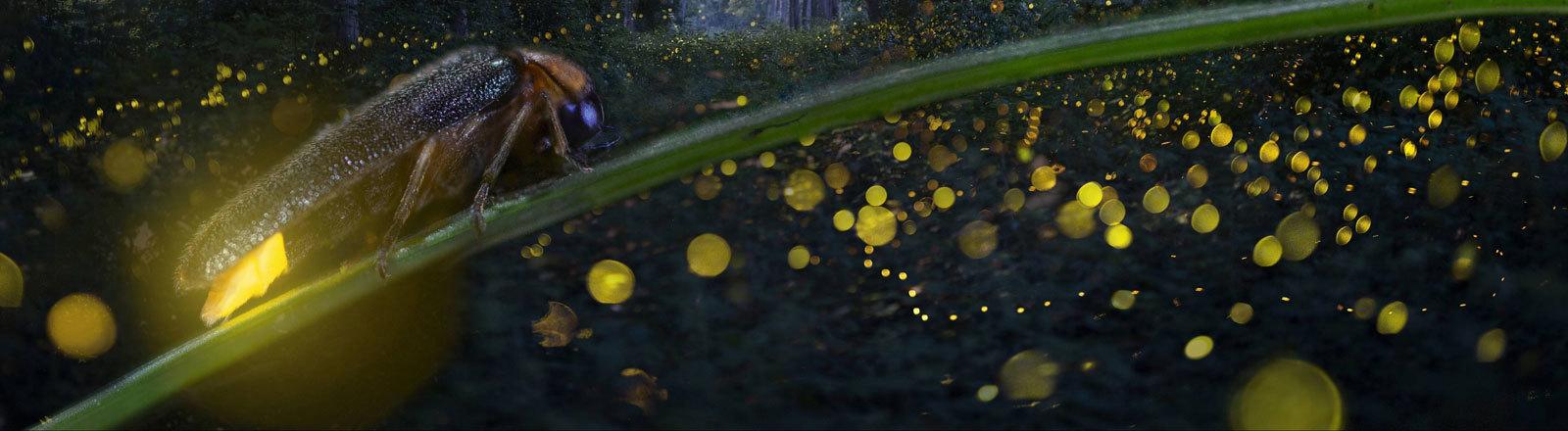 Langzeitbelichtung eines leuchtenden Glühwürmchens.
