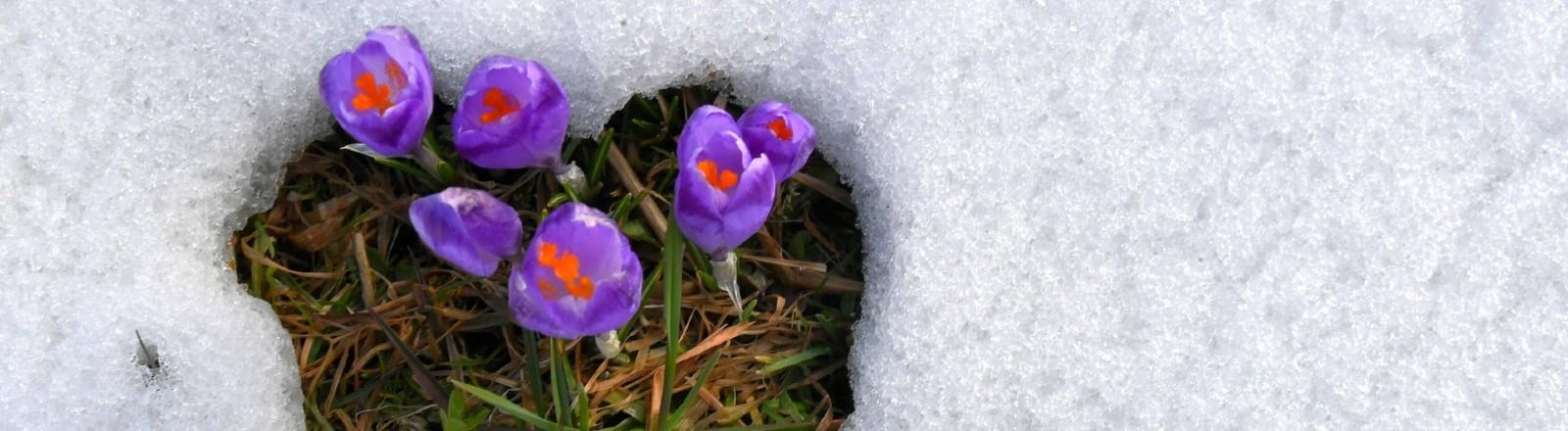 Leuchtend lilafarbene Krokusse, umgeben von eine dünnen Schneedecke.