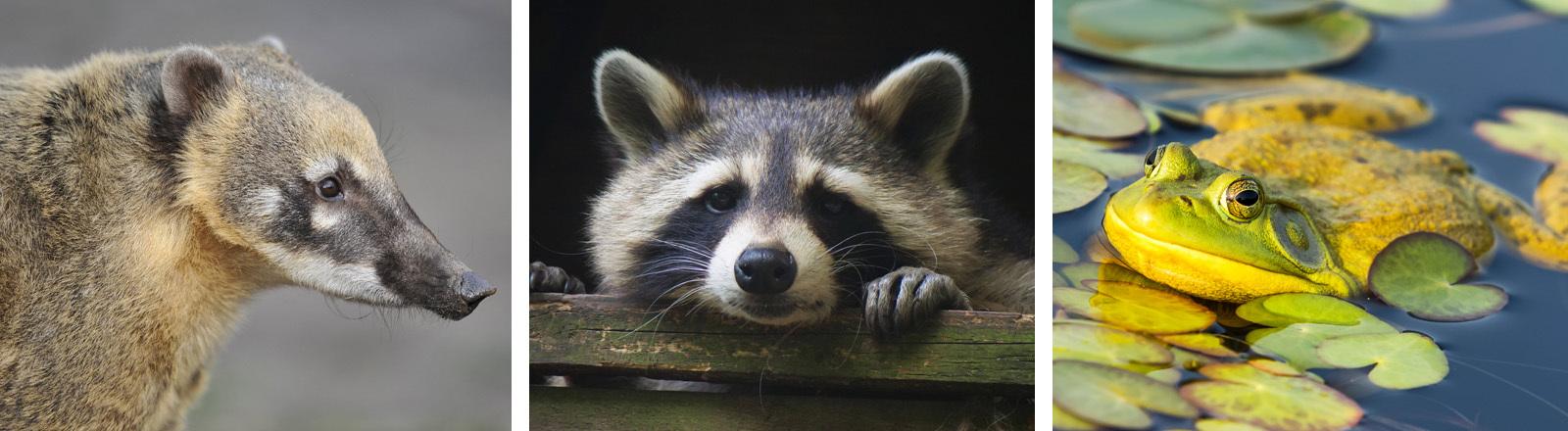 Invasive Arten: Südamerikanischer Nasenbär, Waschbär, Ochsenfrosch