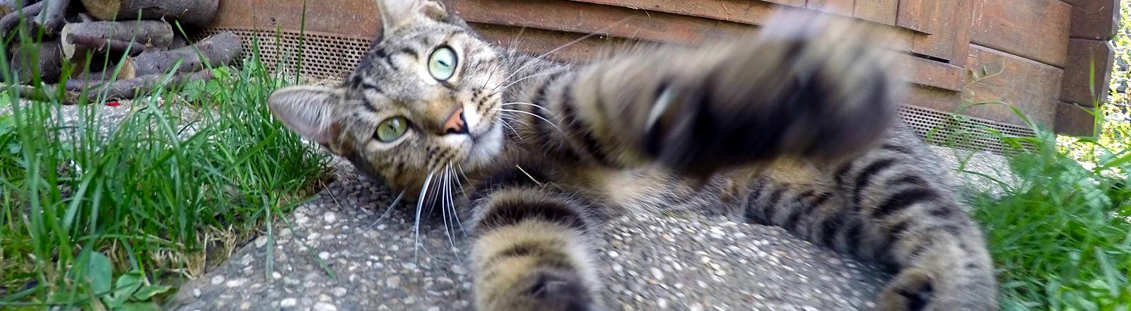 Katze streckt ihre Pfoten aus.