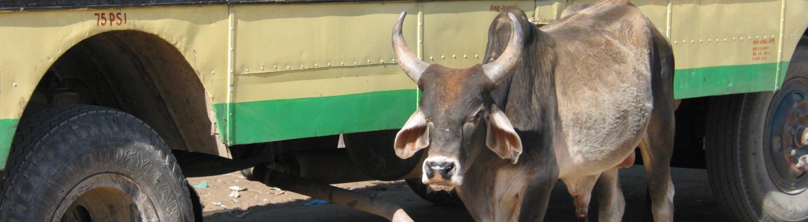 Eine Kuh in Indien steht vor einem LKW.