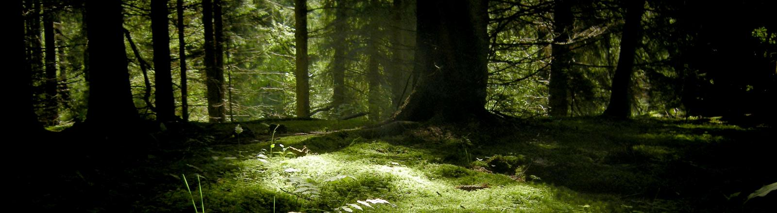 Blick in einen dunklen Wald