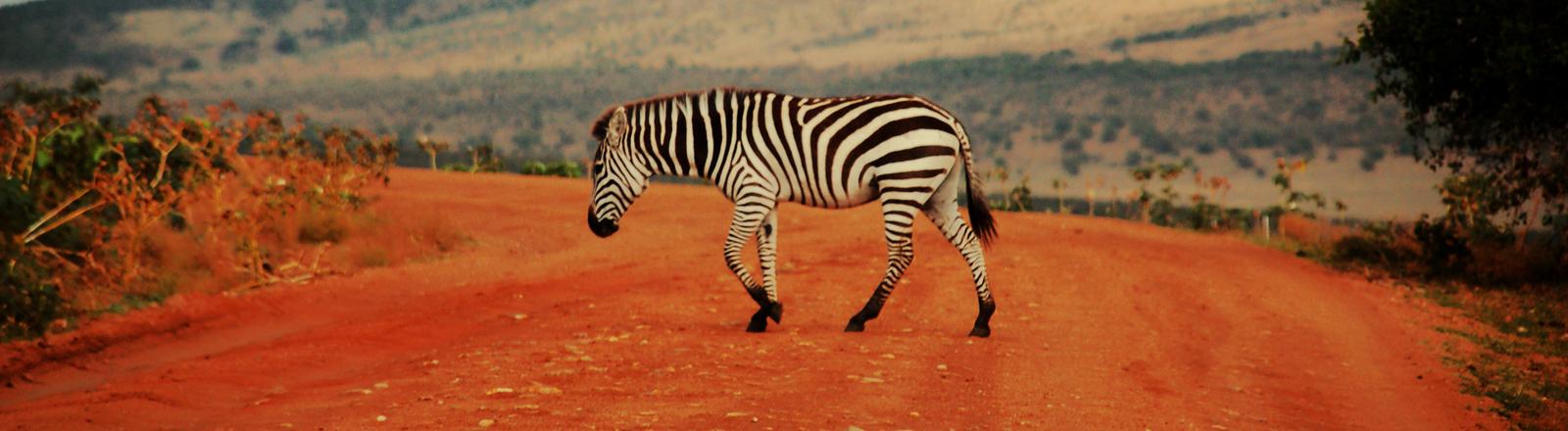 Ein Zebra geht über eine Straße