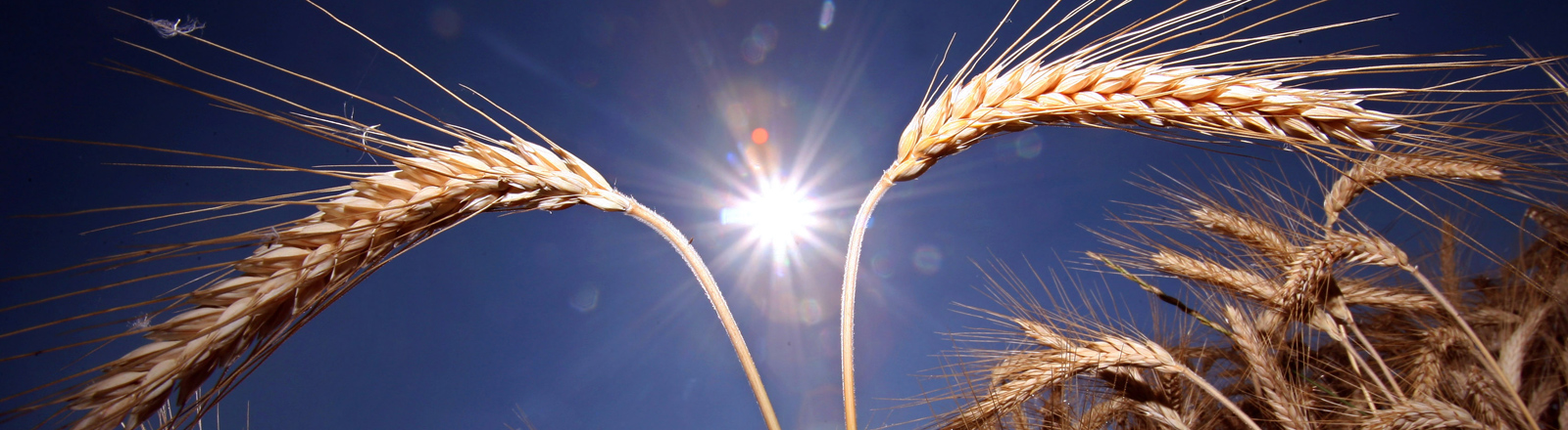 Reife Getreideähren stehen im prallen Sonnenschein.
