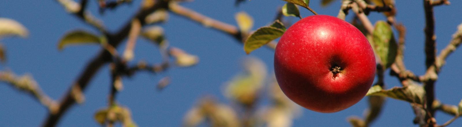 Ein lecker aussehender Apfel hängt an einem Baum.