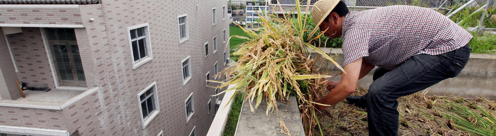 Ein Urban Farmer pflanzt auf dem Dach eines Hauses Reis an.