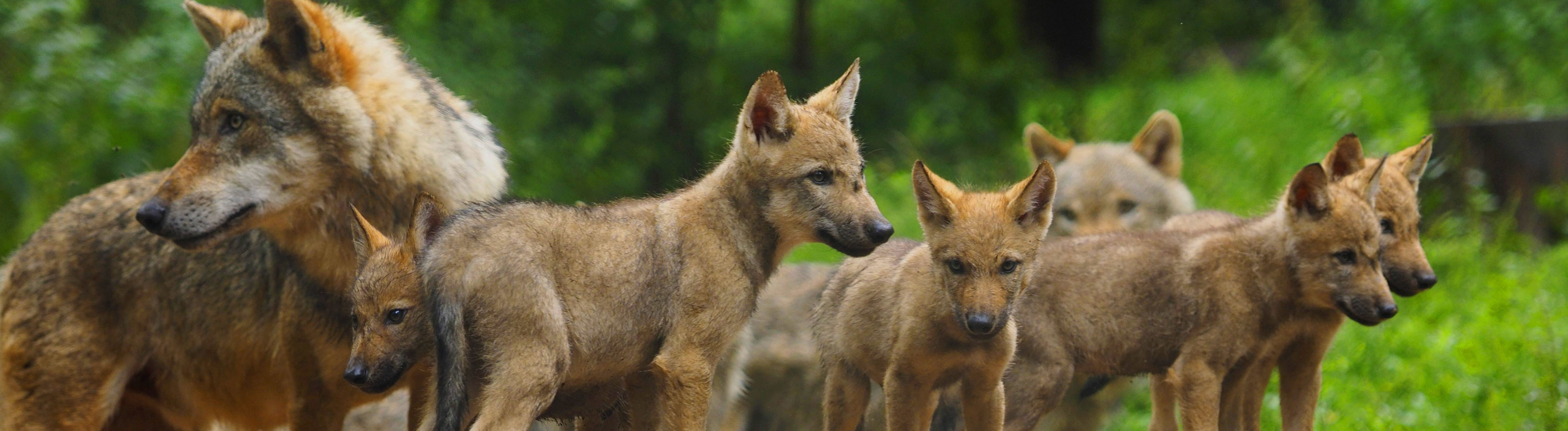 Wolf mit Welpen.