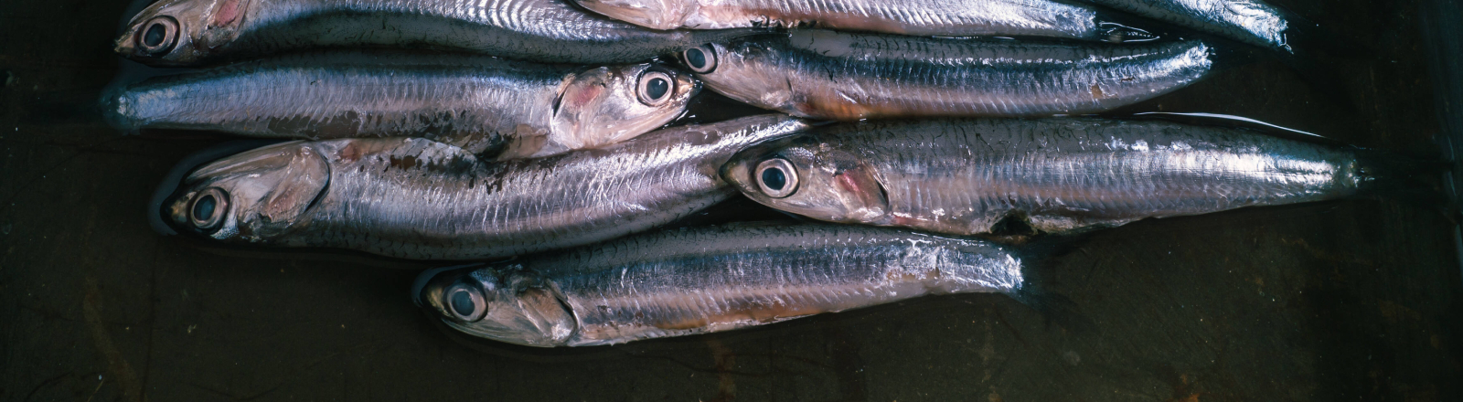 Diese Fischart breitet sich in der Nordsee aus: Sardellen, auch als Anchovis bekannt
