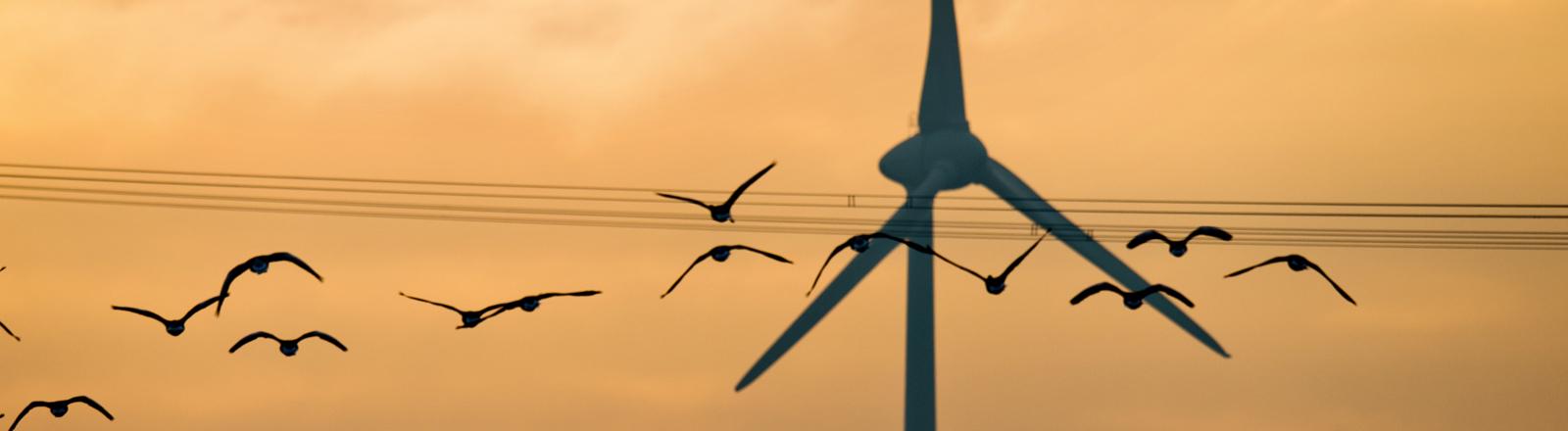 Graugänse (Anser anser) fliegen am 26.11.2015 im Gegenlicht der Morgensonne vorbei an einem Windrad und einer Hochspannungsleitung bei Sehnde in der Region Hannover (Niedersachsen).