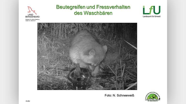 Waschbären als Artenschutzproblem - Vortragsfolie Norbert Schneeweiß
