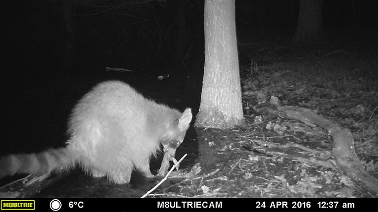 Nachtaufnahme einer Wildkamera: Ein Waschbär frisst eine Erdkröte