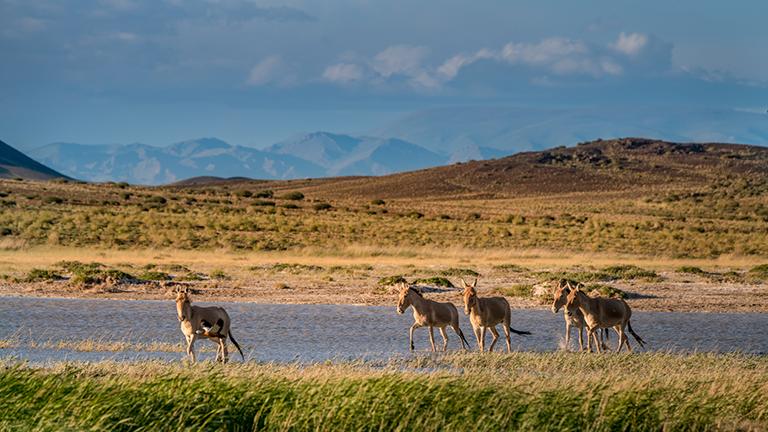 Wildesel in der mongolischen Steppe