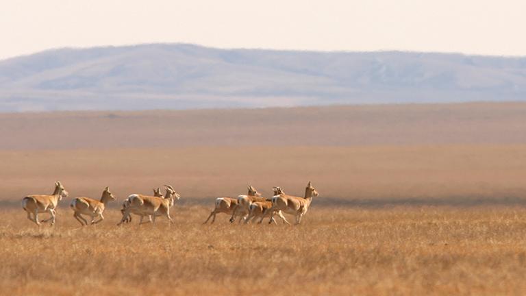 Eine Gruppe mongolischer Gazellen rennt durch die Steppe