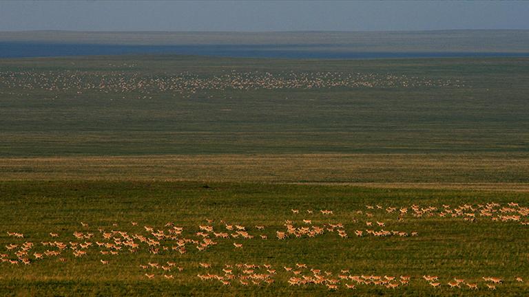 Riesige Gazellenherden in der Weite der mongolischen Steppe
