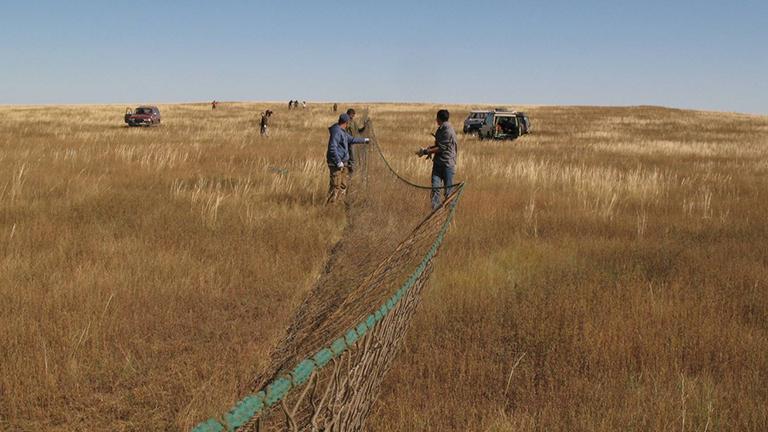 Wissenschaftler und Helfer stellen in der mongolischen Steppe Fangnetze auf