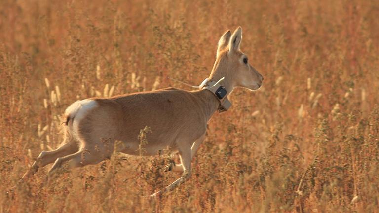 Eine mongolische Gazelle mit GPS-Halsband läuft durch die Steppe