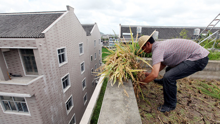 Ein Urban Farmer pflanzt Reis auf seinem Dach an.