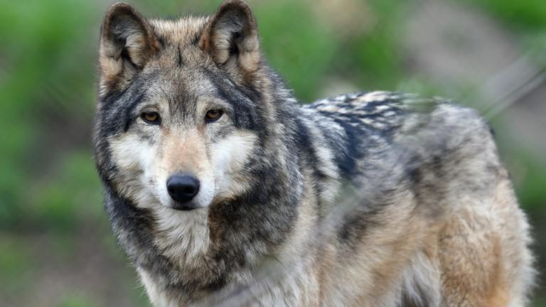 Ein Wolf.