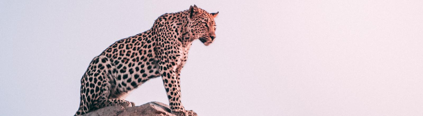 Jaguar steht auf Fels