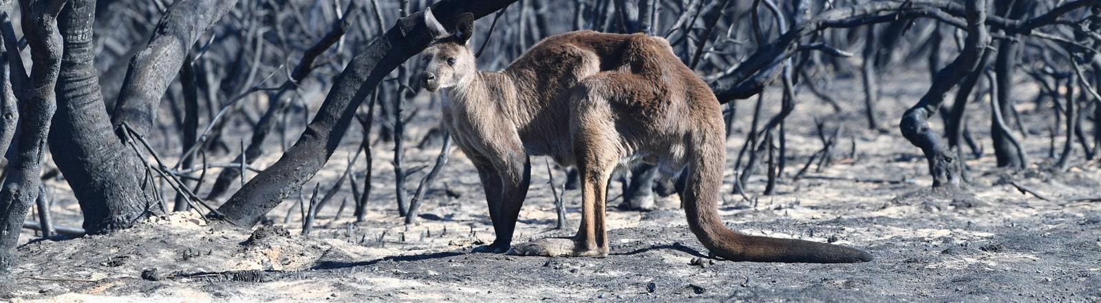 Känguru in verbrannter Umgebung