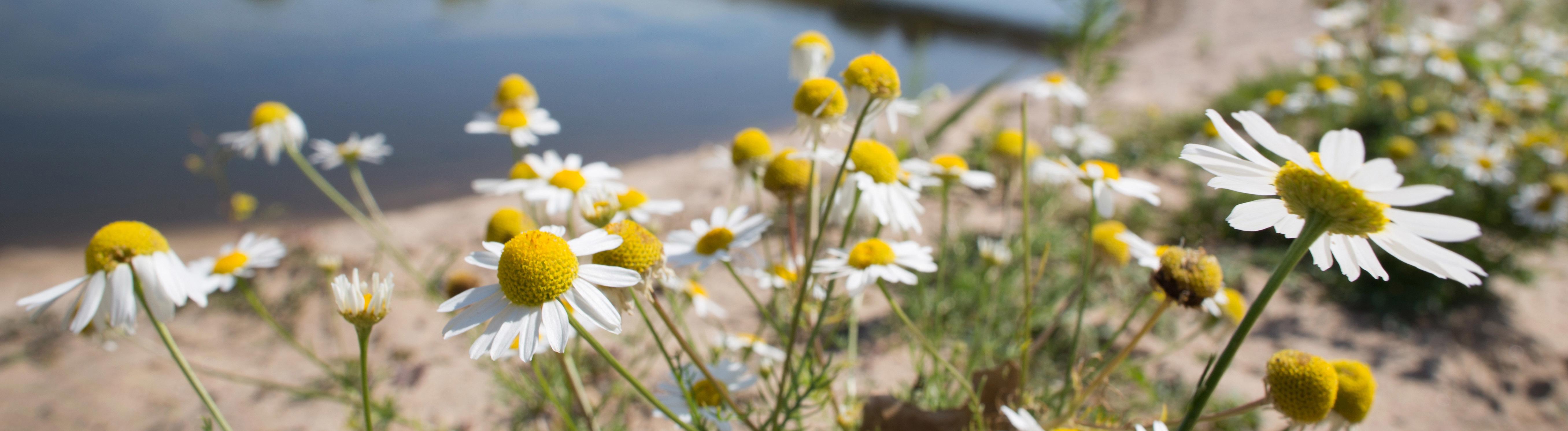 Kamille blüht am 02.08.2015 am Ufer der Lippe in Wesel (Nordrhein-Westfalen). Der Fluss Lippe ist in der Mündung verlegt worden. Entstanden ist ein einzigartiger Naturentwicklungsraum.