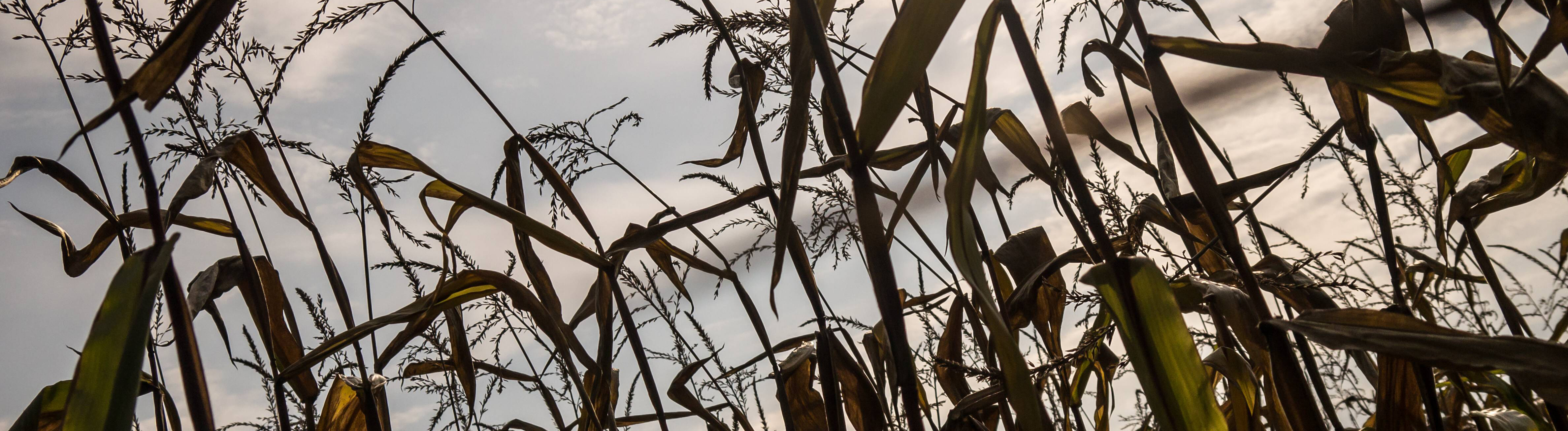 Vertrockneter Mais