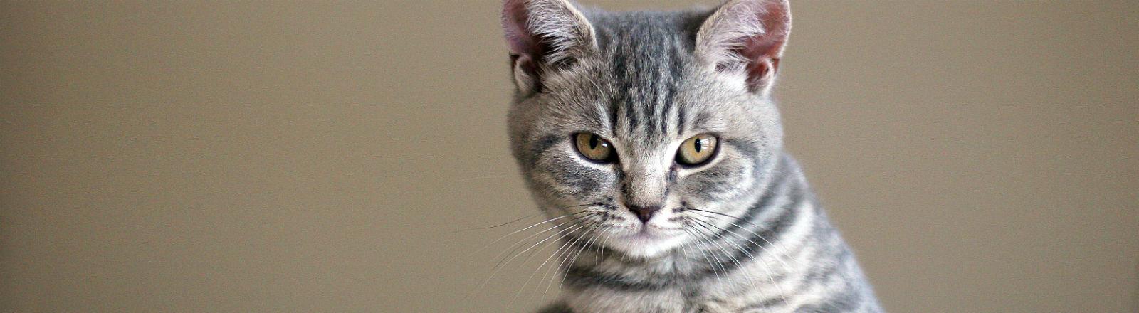 Eine junge Katze guckt böse in die Kamera.