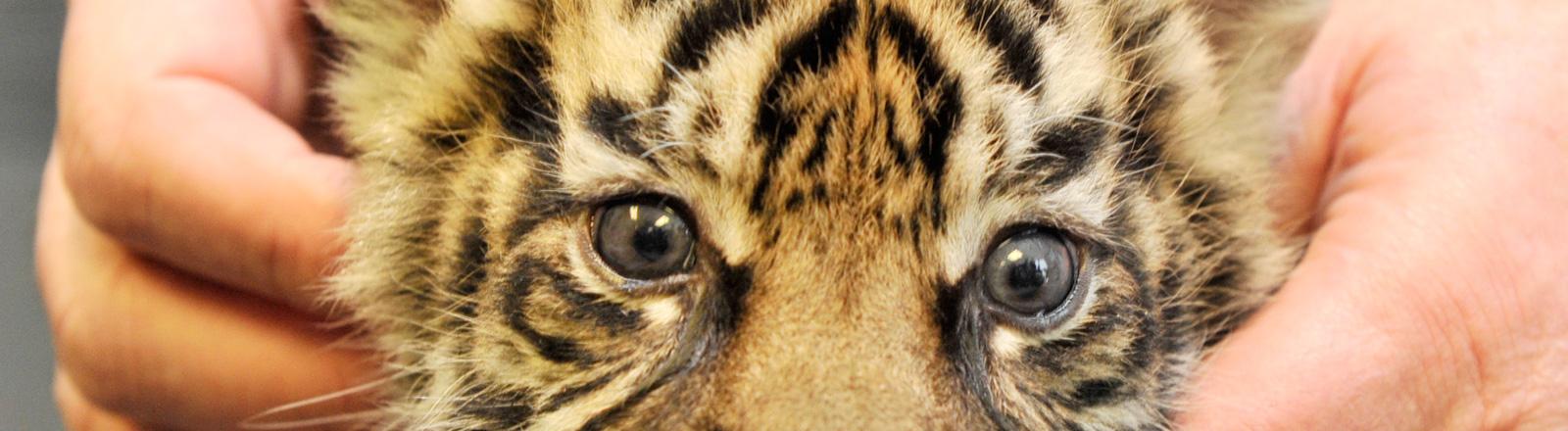 Ein Tigerbaby wird gekrault.