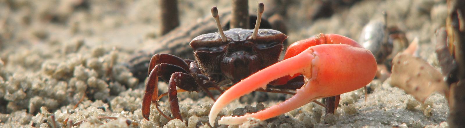 Eine Winkerkrabbe läuft mit roter Schere durch den Sand.