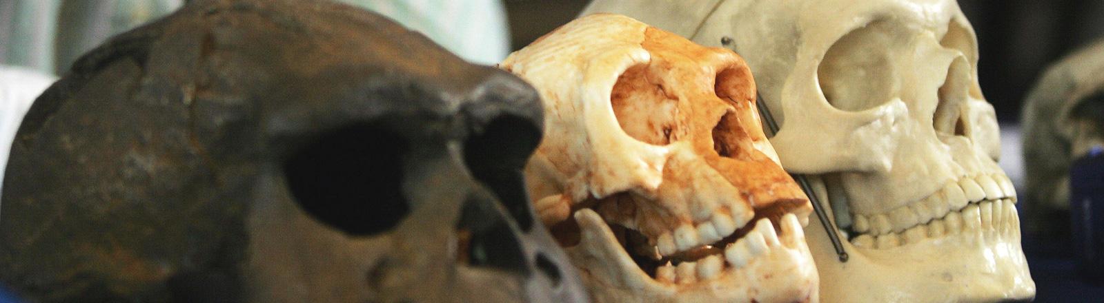 """Der Schädel der Menschenart """"homo floresiensis"""" liegt auf einem Tisch in der Mitte zwischen zwei anderen Schädeln."""